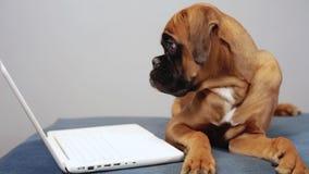 Het leuke bokser pupy werken aan laptop stock video