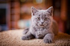 Het leuke Britse katje stellen Stock Foto's