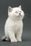 Het leuke Britse katje van Nice Stock Afbeelding