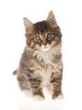Het leuke bruine katje van de Wasbeer van Maine op wit BG Stock Foto's
