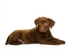 Het leuke bruine puppy van chocoladelabrador Royalty-vrije Stock Foto's