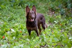 Het leuke bruine straathond glimlachen Stock Foto