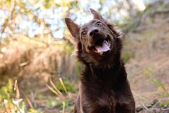 Het leuke bruine straathond glimlachen Royalty-vrije Stock Foto