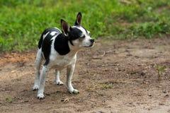 Het leuke chihuahuahond stellen in de tuin Royalty-vrije Stock Foto