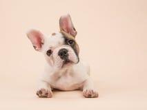 Het leuke Franse buldogpuppy liggen gezien van de voorzijde op een room kleurde achtergrond royalty-vrije stock foto