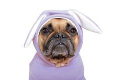 Het leuke Franse meisje van de Buldoghond kleedde zich omhoog in grappig licht violet Pasen-konijntjeskostuum met oren op witte a royalty-vrije stock foto