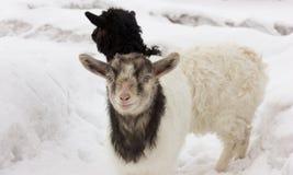Het leuke geitjong geitje vooruitzien Royalty-vrije Stock Afbeeldingen