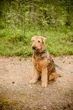 Het leuke gelukkige portret van Airedale Terrier in fotografie van het de zomer de bosportret van een hond - zeldzame rassen aire Stock Foto's