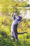 Het leuke gestreepte katkatje op een de zomer zonnige weide vangt een vliegende oranje vlinder springend in duidelijk weer in het stock afbeelding
