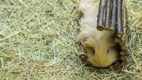 Het leuke harige proefkonijn ontspannen in strobeddegoed stock foto's
