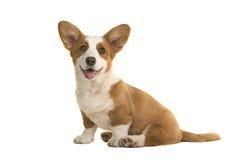 Het leuke het glimlachen puppy die van zittings Welse corgi de camera onder ogen zien Royalty-vrije Stock Foto