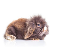 Het leuke het konijntje van het leeuw hoofdkonijn liggen Royalty-vrije Stock Foto's