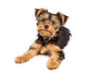 Het leuke het Puppy van Yorksire Terrier Leggen stock afbeeldingen
