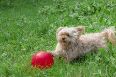Het leuke hond spelen met een rode ballon openlucht royalty-vrije stock afbeelding