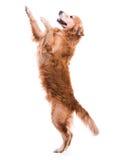 Het leuke hond springen stock afbeelding