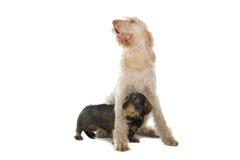 Het leuke honden spelen Royalty-vrije Stock Fotografie