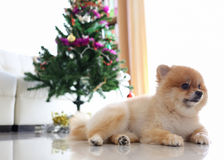 Het leuke huisdier van de Pomeranianhond in huis met Kerstmisboom Royalty-vrije Stock Afbeelding