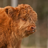 Het leuke kalf van hooglandvee heeft melk rond de mond hebben Stock Foto's