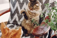 Het leuke kat en hond spelen in modieuze ruimte de wasbeer van Maine en gouden Stock Afbeeldingen