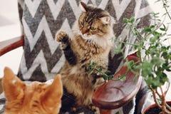 Het leuke kat en hond spelen in modieuze ruimte de wasbeer van Maine en gouden Royalty-vrije Stock Foto