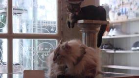 Het leuke kat slaap en schoonmaken stock videobeelden
