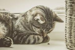 Het leuke kat spelen met lieveheersbeestje De gestreepte katkat ligt op het venster en de slaap Stock Foto's
