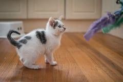 Het leuke katje spelen met bevederd stuk speelgoed royalty-vrije stock foto's