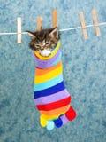 Het leuke katje van de Wasbeer van Maine in kleurrijke sok Royalty-vrije Stock Afbeeldingen