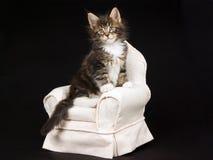 Het leuke katje van de Wasbeer van Maine op beige stoel Stock Fotografie
