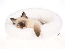 Het leuke katje van Ragdoll van het verbindingspunt in wit bed Stock Afbeeldingen