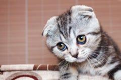 Het leuke katje is zilveren-gekleurd Schots Vouwenras met vraag kijkt royalty-vrije stock afbeelding