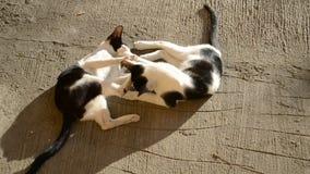 Het leuke katten spelen stock footage