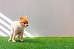 Het leuke kleine Pomeranian-hond pooping bij grasgebied hondterriër op park stock fotografie