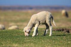 Het leuke lam is weidt op het weiland stock afbeelding