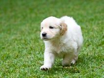 Het leuke levendige het puppy van de Retriever van gr. Gouden lopen Royalty-vrije Stock Afbeelding