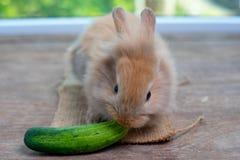 Het leuke lichtbruine konijn eet komkommer op houten lijst met groene achtergrond stock afbeelding