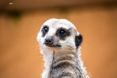 Het leuke meerkat stellen voor ons stock foto