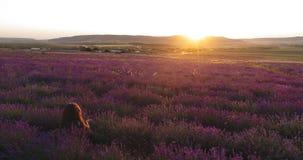 Het leuke meisje zit op een mooi lavendelgebied in de stralen van de het plaatsen zon Luchtspruit stock footage