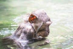 Het leuke natte aap baden in vijver Bali, Indonesië Stock Foto's