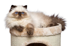 Het leuke Perzische colourpointkatje ligt bovenop een kattentoren Stock Fotografie