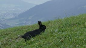 Het leuke pluizige zwarte konijn kauwt gras op achtergrond van de schilderachtige Oostenrijkse vallei stock video