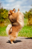 Het leuke pomeranian hond spelen Stock Afbeelding