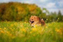 Het leuke pomeranian hond spelen Stock Foto's