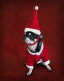Het leuke portret van een chihuahua kleedde zich in Kerstman` s kostuum voor Kerstmis Stock Afbeelding