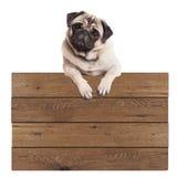 Het leuke pug puppyhond hangen met poten op leeg houten promotiedieteken, op witte achtergrond wordt geïsoleerd Royalty-vrije Stock Afbeeldingen
