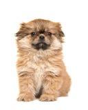 Het leuke puppy die van het zittings pluizige tibetan spaniel cameraisol onder ogen zien royalty-vrije stock foto's