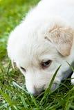 Het leuke Puppy ruikt Gras Royalty-vrije Stock Fotografie