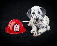 Het leuke Puppy van Dalmatië Royalty-vrije Stock Afbeeldingen