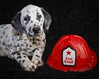 Het leuke Puppy van Dalmatië Stock Fotografie