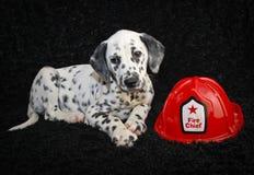 Het leuke Puppy van Dalmatië Royalty-vrije Stock Foto